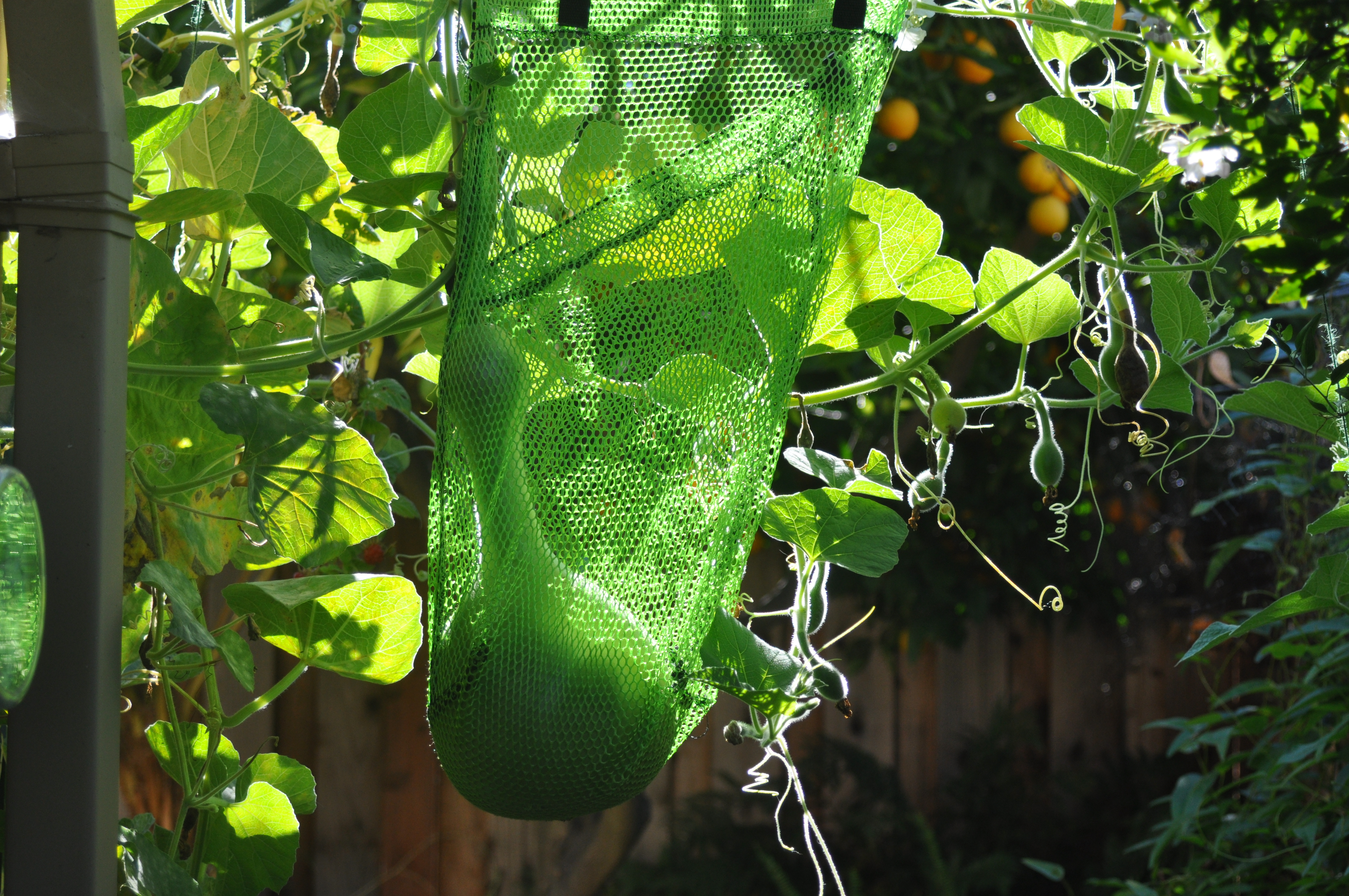 Birdhouse Gourd:  In the Bag