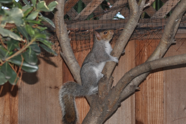 Squirrel in the Pittosporum