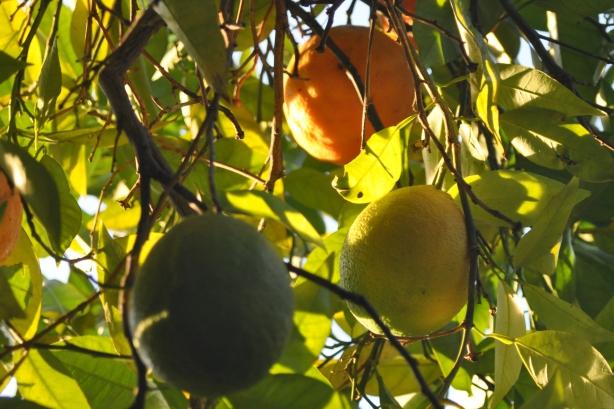Fruit-Loop Tree?