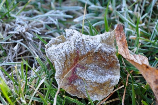 Crisp, frosty leaves