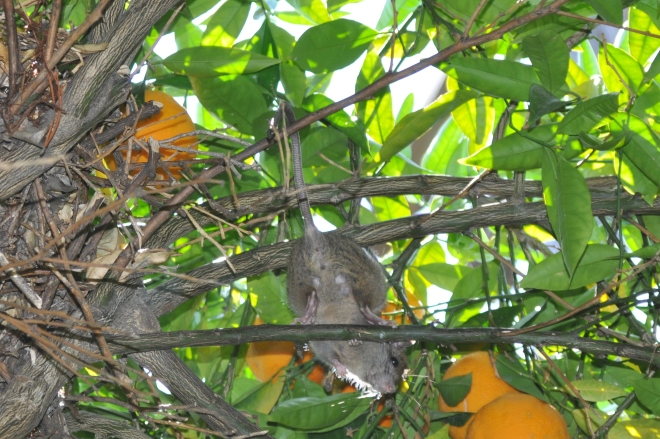 Orange Tree, Nest and Tree Rat