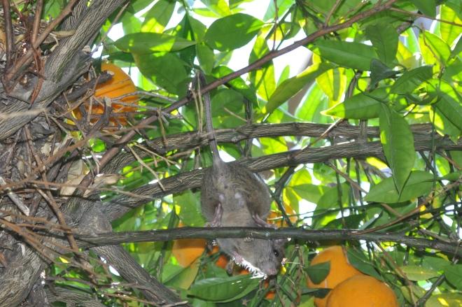 Orange Tree, Nest and Tree Rat