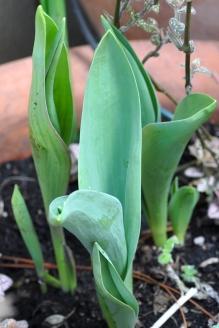Tulips Break Ground