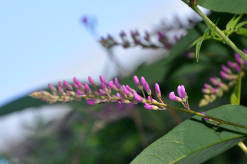 Hardenbergia, Member of the Pea Family