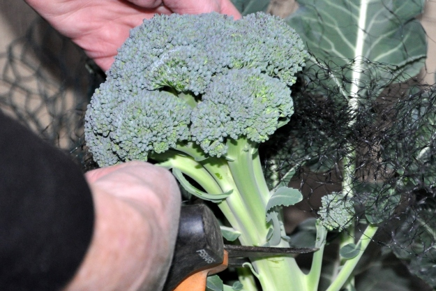 Broccoli Fresh from the Plant