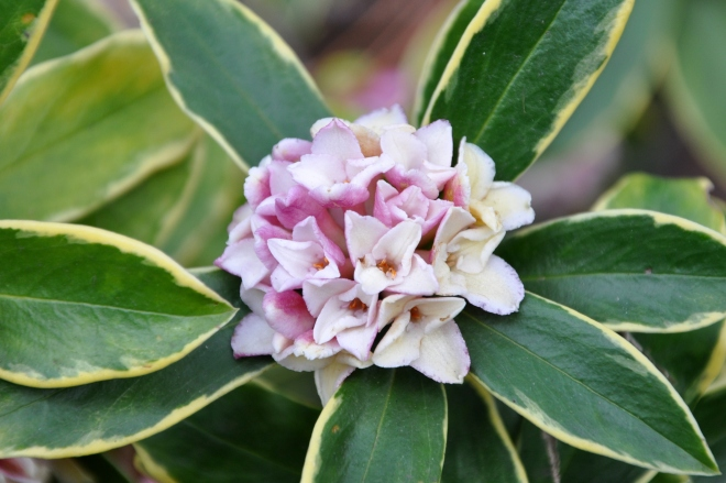 Flowering Daphne