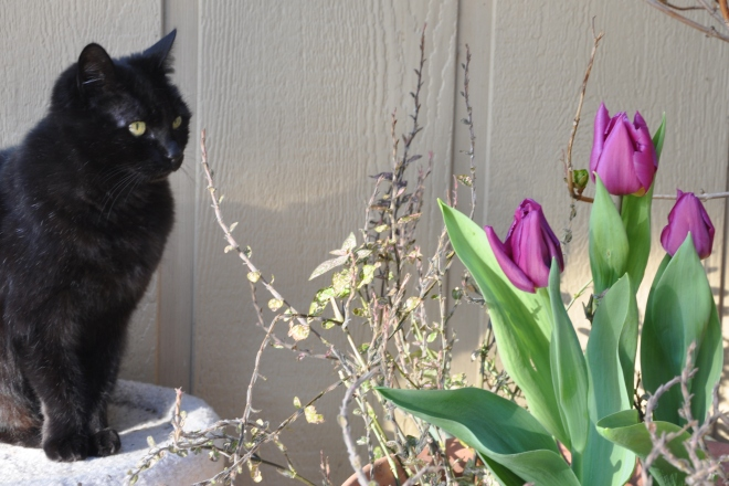 Black cat with tulips