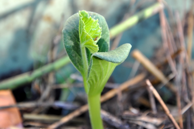 Pumpkin Sprout