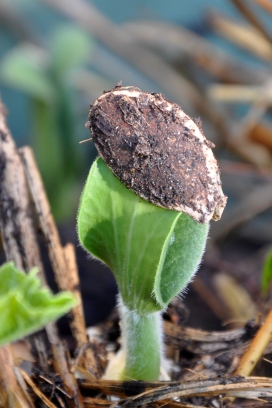 Pumpkin Seedlling with seed attached