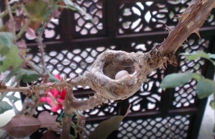 Phoebe's nest.  First egg, February 10th