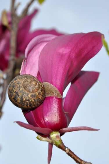 Snail on a Tulip Magnolia