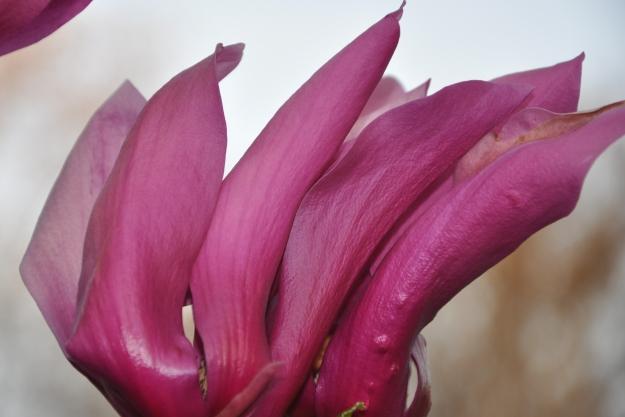 Magnolia Tulip Fingers