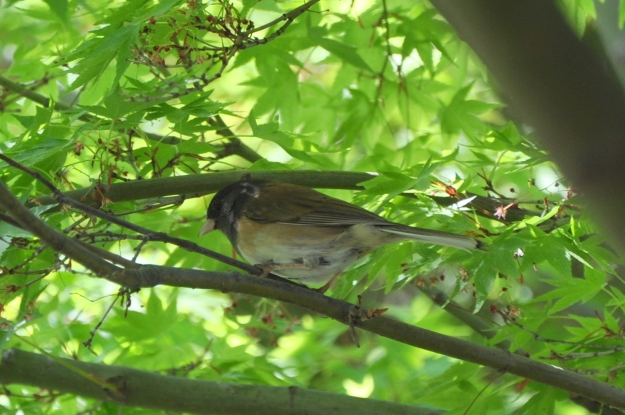 Dark-eyed Junco in a maple tree