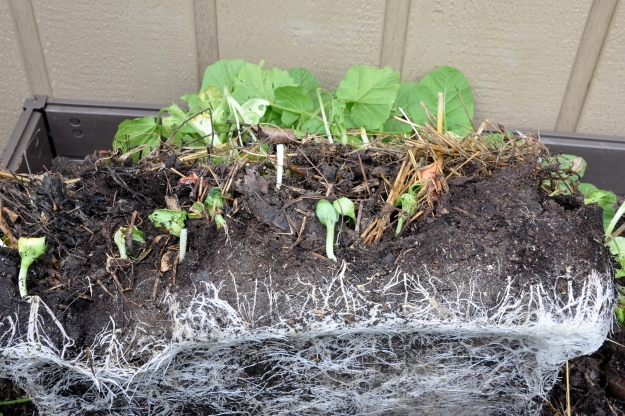 pumpkin transplants from compost