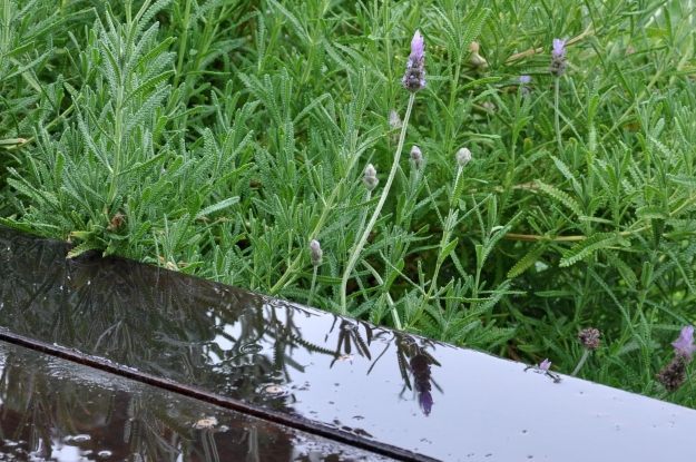 lavender reflections