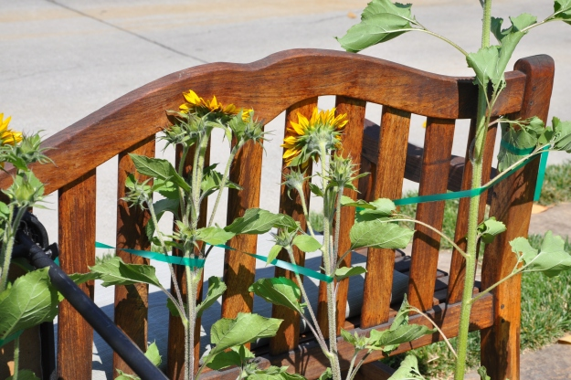 sunflowers and garden bench