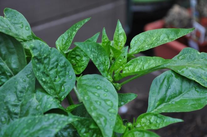 Basil in the rain