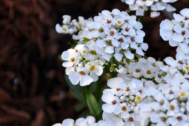 Candytuft 'Masterpiece'