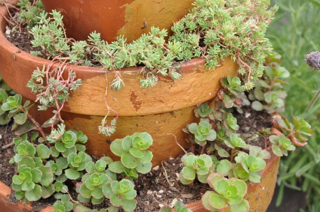 Sedum layered in tower of pots