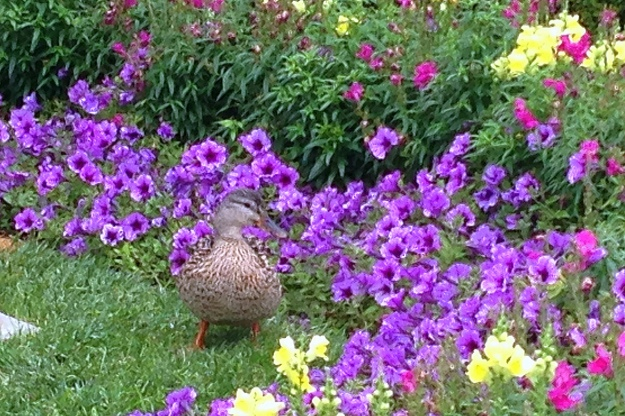 Female Mallard (hen) in the flowers