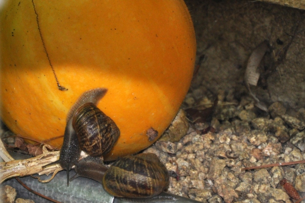 pumpkin with two snails
