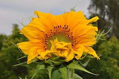 sunflower 2012