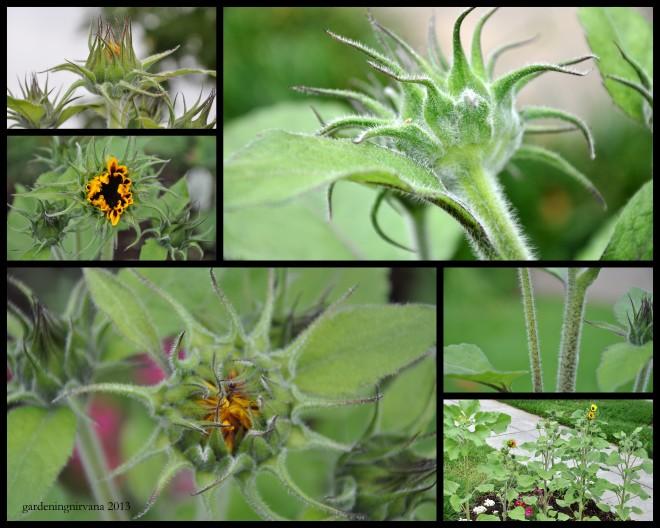 sunflower collage 2013