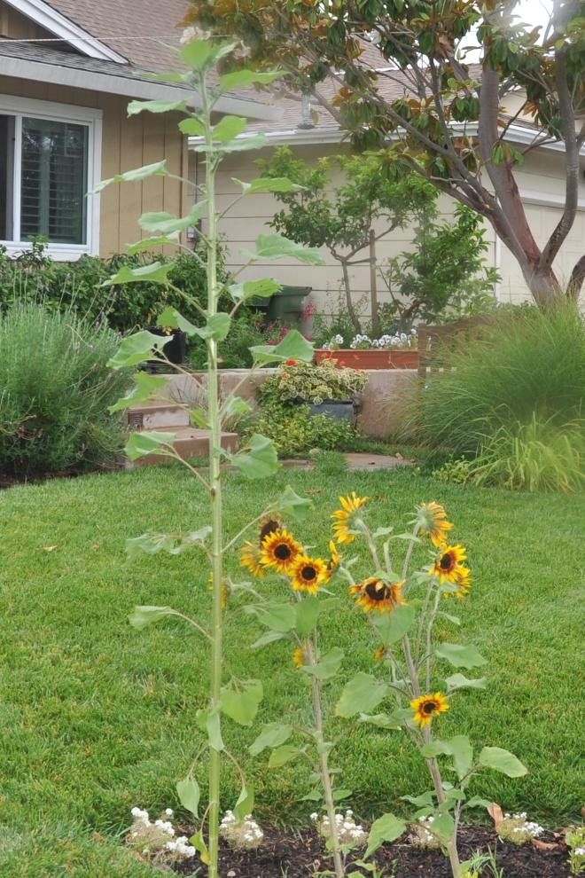 sunflowers.1