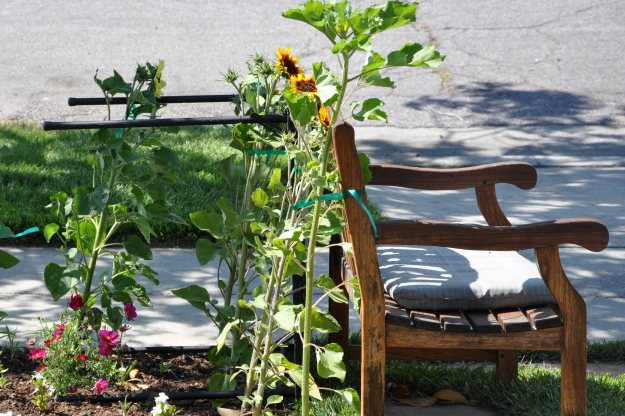sunflowers and bench