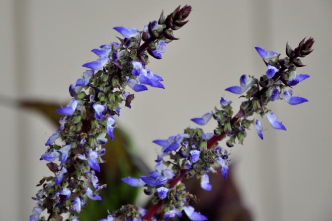 coleus flowers
