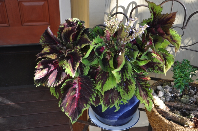 Potted coleus