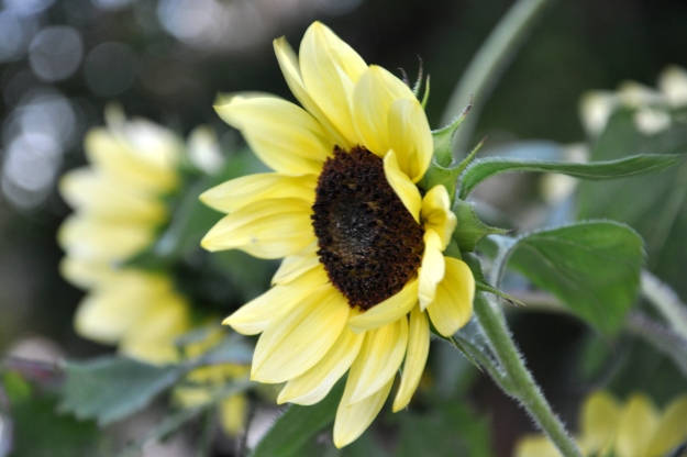 Helianthus in profile