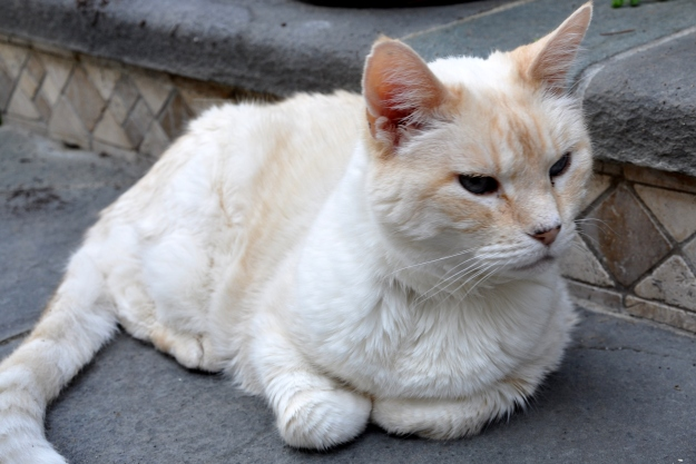 Beijing the cat