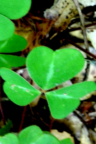 heart shaped clover