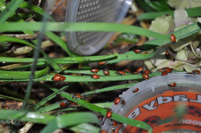 Ladybugs eating aphids