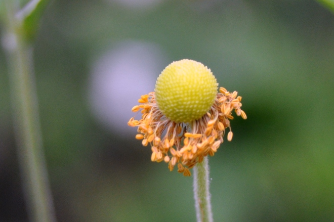 Anemone going to seed