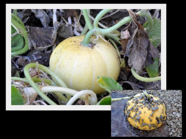 pumpkin with squash bugs