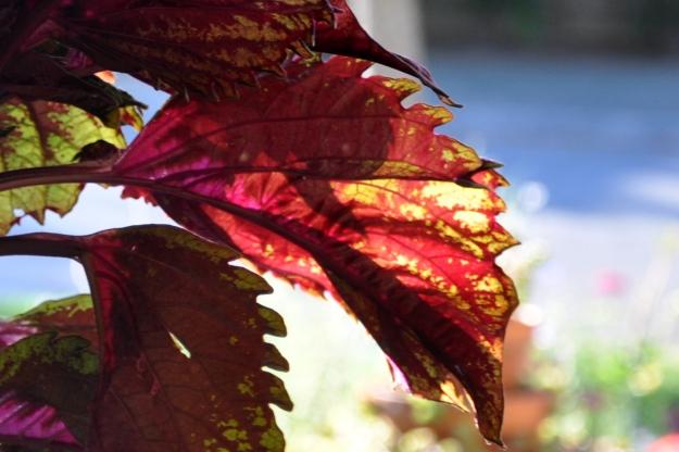 coleus closeup leaf