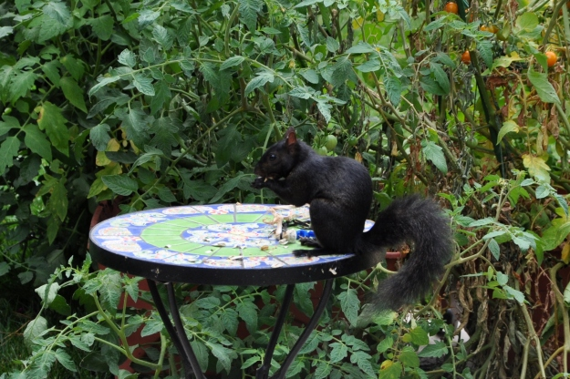 dark squirrel eating pumpkin