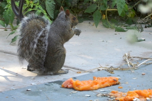 grey squirrel eating pumpkin