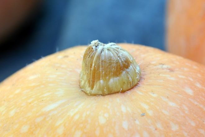 pumpkin peduncle