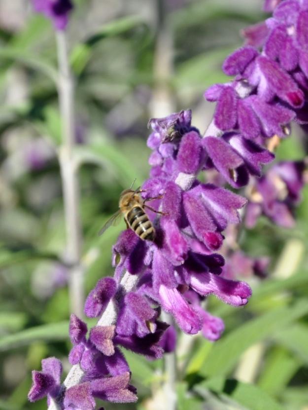 salvia with bee