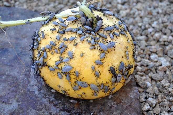 pumpkin with squash bugs