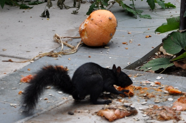 squirrel eating pumpkin pulp
