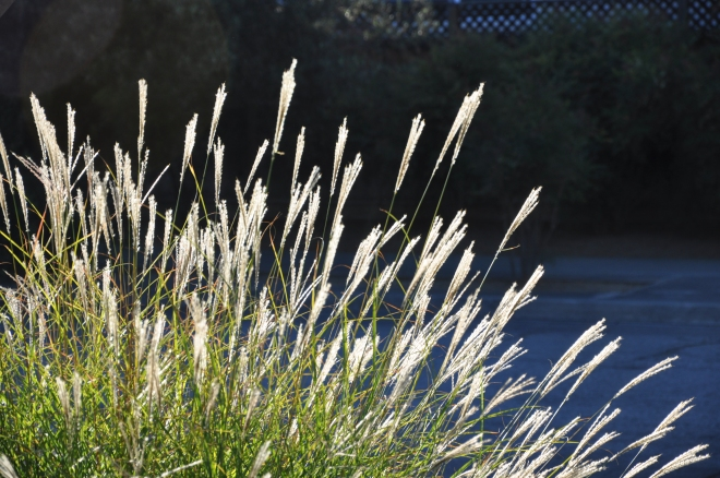 tall grasses at sunset