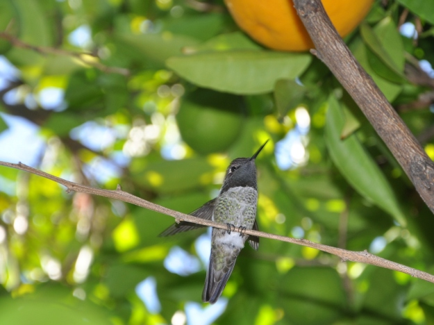 Hummer in the orange tree