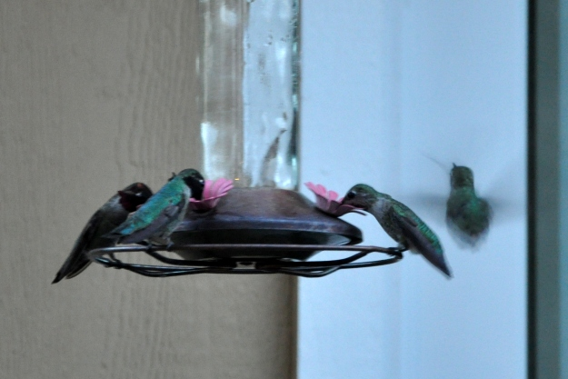 multiple hummingbirds at the feeder