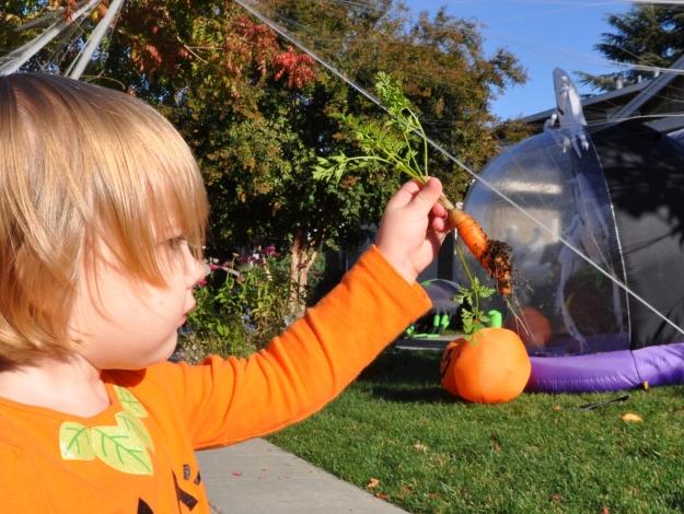 carrot harvest 1