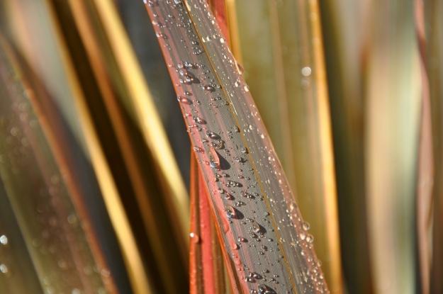 'Maori Sunrise' New Zealand Flax