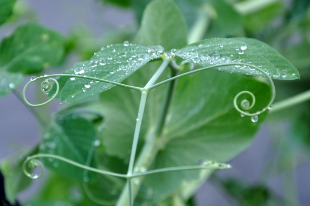 sweet peas in the rain
